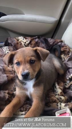 German Shepherd Lab Mix Puppy Greenville Nc In 2020 Lab Mix Puppies German Shepherd Lab Mix Puppies