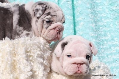 Thomas Bulldogs Of Ohio Rare Lilac Blue English Bulldogs