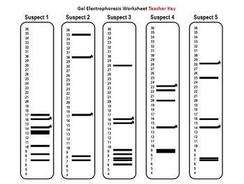 Dna Fingerprinting Worksheet Answers - worksheet