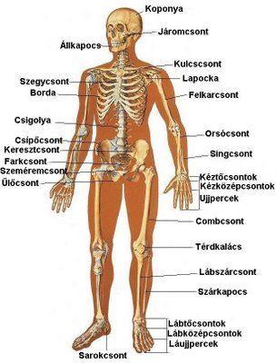 az emberi test felépítése a mechanika szempontjából