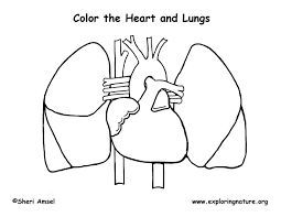 Image Result For The Coloring Page Heart Internal Anatomy