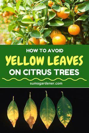 a27ba5c7bf59774c3fbf2521a7aec6ce - Growing Citrus The Essential Gardener's Guide