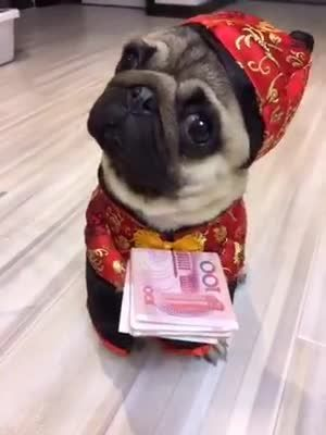 This Pug In Chinese Clothes Wants To Say Happy Chinese New Year
