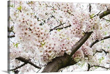Japanese Cherry In Full Bloom In 2021 Japanese Cherry Cherry Blossom Cherry Blooms