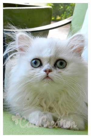 Wide Eyed Persian Kitten Teacupkittens Persian Kittens Persian Cat Teacup Persian Kittens