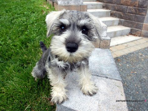 The Truth About Hypoallergenic Dog Breeds Miniature Schnauzer Puppies Schnauzer Puppy Miniature Schnauzer