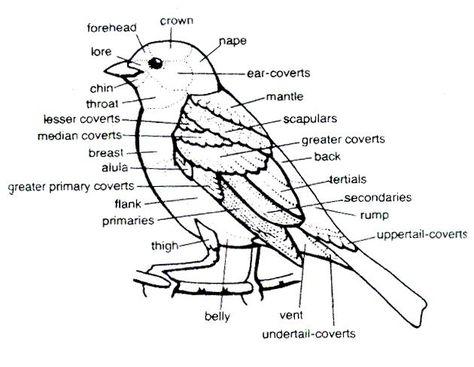 Bird Sketches You Can Print