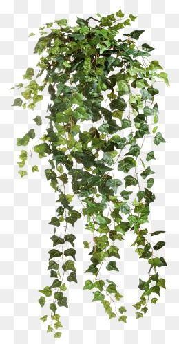 Vine Vine Clipart Vine Vine Leaves Png Image And Clipart Tree Photoshop Photoshop Landscape Plant Texture