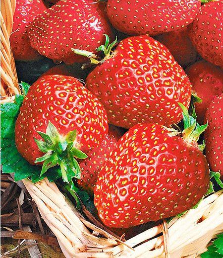 Die Immertragende Erdbeere Seascape Konnt Ihr Jetzt Im Mein Schoner Garten Shop Bestellen Erdbeeren Beeren Mein Erdbeeren Erdbeeren Uberwintern Pflanzen