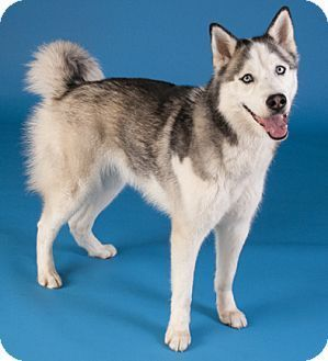 Stella Adopted Dog Chicago Il Siberian Husky Siberian