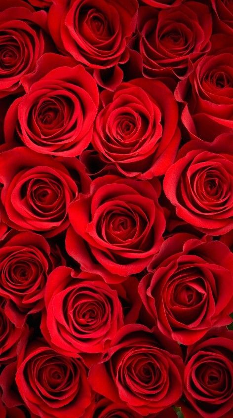 Red Rose Wallpaper Iphone X Rose Wallpaper Rose Wallpaper
