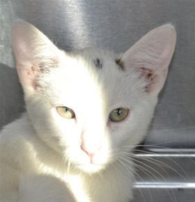 Adopt Mr Merriweather On Animal Welfare League Cats Animals
