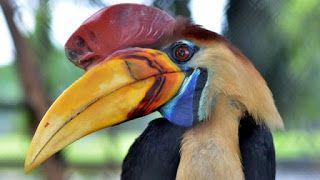 Penjelajah Ilmiah Kisah Pilu Burung Rangkong Di Hutan Indonesia Burung Makanan Burung Hutan