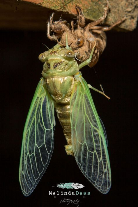 Cicadas! Learn About Cicadas and Enjoy Colorful Pictures - Look and Learn! (50+ Photos of Cicadas)
