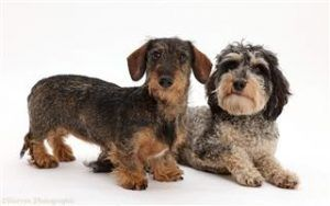 Wire Haired Dachshund Puppies For Sale Dachshund Puppies Wire