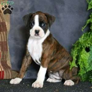 Boxer Puppies For Sale Greenfield Puppies In 2020 Boxer Puppies Boxer Puppies For Sale Puppies For Sale