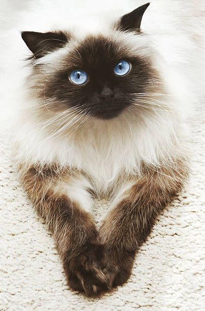 274 Himalayan Cat Pictures Photos Images In 2020 Siamese Cats Himalayan Cat Cats And Kittens