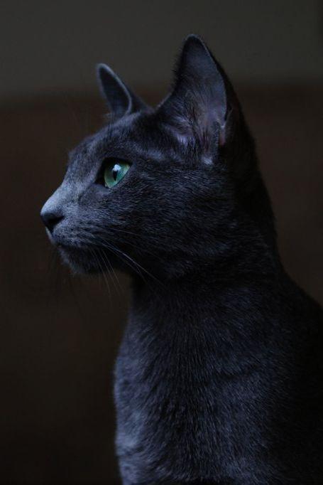 Beautiful Cats For Sale In Karachi Beautiful Cats Download Russian Blue Cat Russian Blue Blue Cats