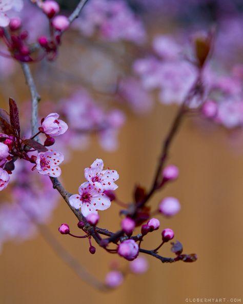 Sunshiny Day Beautiful Flowers Cherry Blossom Purple Aesthetic