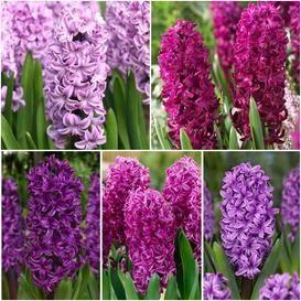 Hyacinth Bulbs For Sale Buy Flower Bulbs In Bulk Save Bulb Flowers Flower Landscape Backyard Flowers Beds