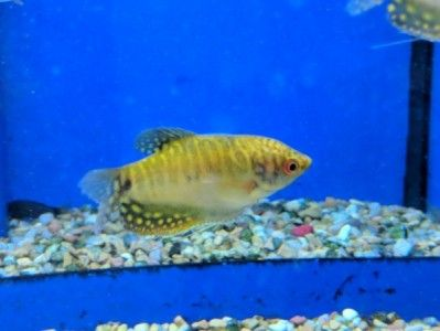 Gold Gourami Fish Freshwater Fish Fish Pet