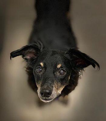 Dallas Tx Dachshund Meet Freddie A Pet For Adoption Pet Adoption Dachshund Adoption Puppy Adoption