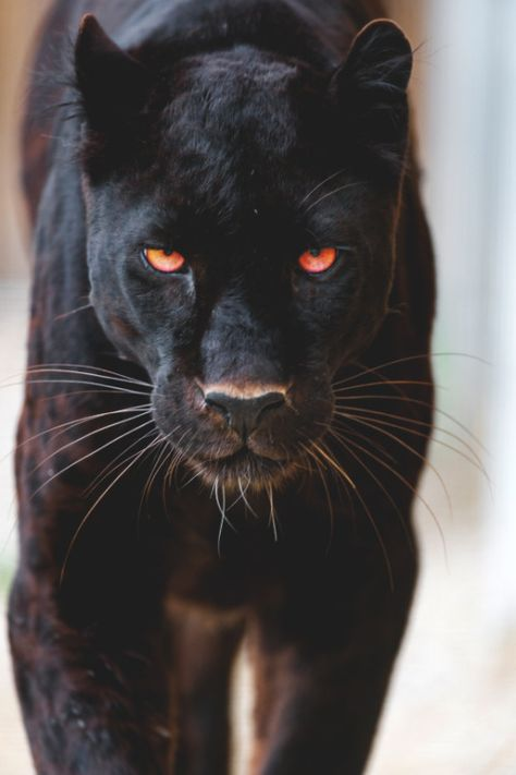 Up close and personal with a black jaguar Animals And Pets, Baby Animals, Cute Animals, Wild Animals, Beautiful Cats, Animals Beautiful, Beautiful Creatures, Big Cats, Cats And Kittens