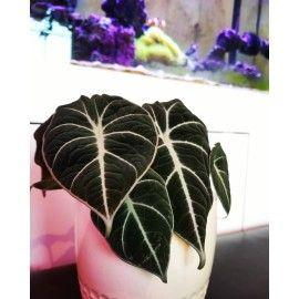 Alocasia Reginula Black Velvet Alokazja Zielony Parapet Black Velvet Plant Leaves Plants