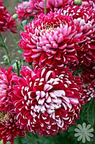 Épinglé par sylvianne sur Chrysanthèmes ... | Chrysanthèmes ...