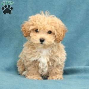 New Arrivals With Images Greenfield Puppies New Puppy Bich Poo