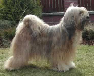 Pin Auf Tibet Terrier