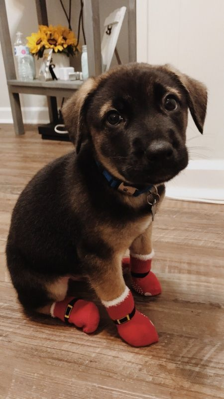 Winter Shoes For Dog Puppies Winter Shoes For Dog Puppies Dog Puppies Shoes Winter Winterschu Cute Animals Cute Puppies Cute Baby Animals