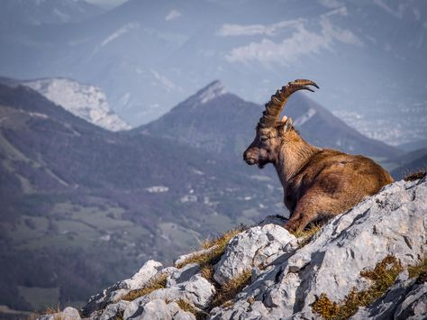Bouquetin (Mountain Ibex) by Andy Bryant on 500px