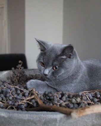 Pin On Cats Gray Coats