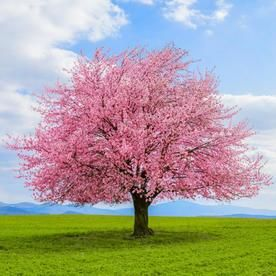 19 5 Gallon Pink Kwanzan Flowering Cherry Flowering Tree In Pot L1023 Lowes Com Flowering Cherry Tree Potted Trees Flowering Trees
