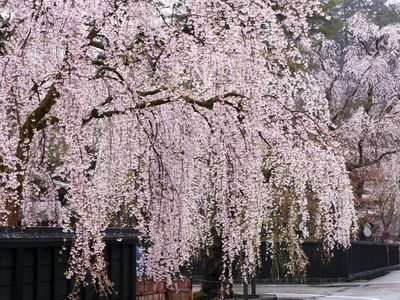 Learn How To Grow And Care For A Weeping Willow Tree Weeping Cherry Tree Weeping Willow Tree Weeping Trees