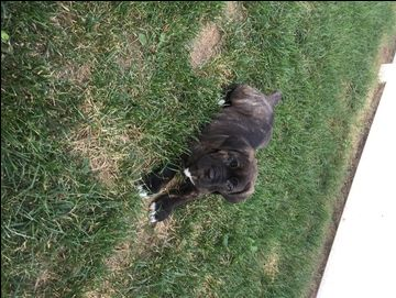 Litter Of 7 Cane Corso Puppies For Sale In Stevensville Md Adn 39224 On Puppyfinder Com Gender Male S And Female S Ag With Images Puppies For Sale Cane Corso Puppies