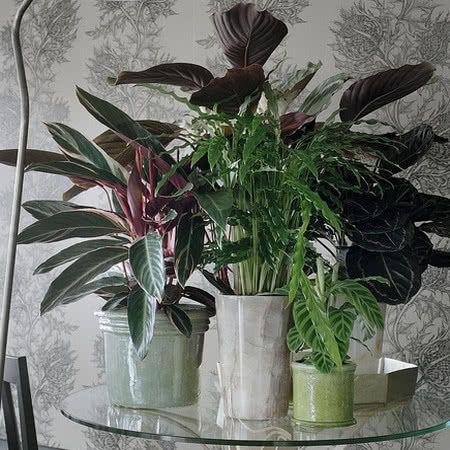 Kalatea Uprawa Pielegnacja Wymagania Zielony Ogrodek Plants