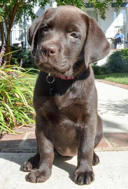 Labrador Retriever Intelligent And Fun Loving With Images
