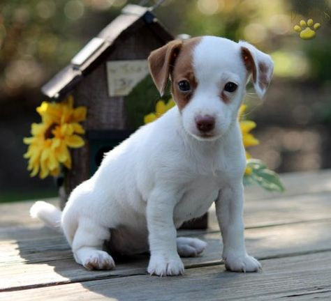 Sophie Jack Russell Terrier Puppy For Sale In Cochranville Pa