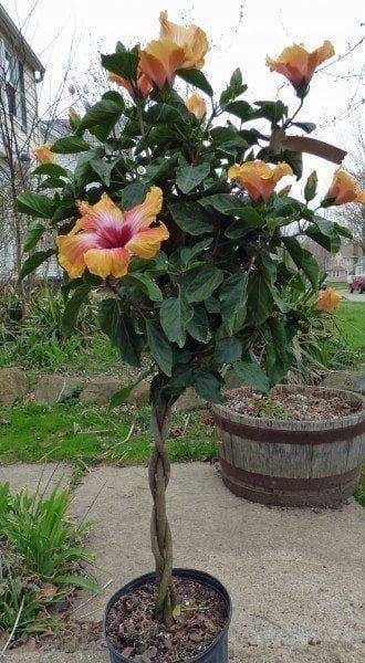 Hibiscus Flower Baby Hibiscus Hibiscus Tree Hibiscus Plant Hibiscus Tree Care