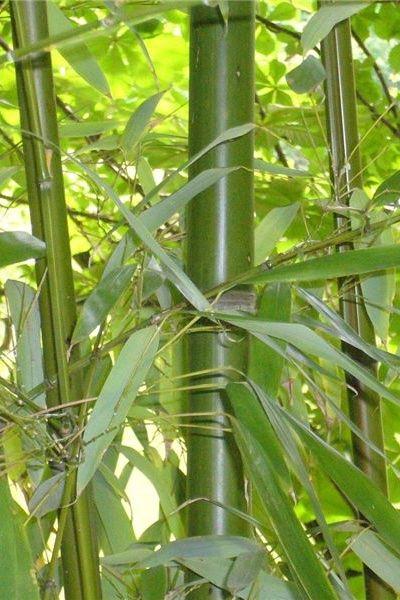 haie bambou