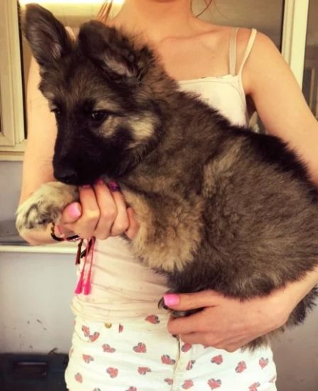 German Shepherd Puppies For Adoption Shepherd Puppies German