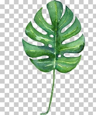 Swiss Cheese Plant Banana Leaf Philodendron Png Clipart Art Autumn Leaf Cartoon Child Clo Cheese Plant Swiss Cheese Plant Monstera Deliciosa Illustration