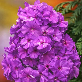 Blue Boy Hybrid Tall Phlox Tall Phlox Bulb Flowers Wholesale