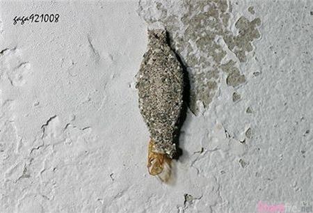 你是否在家裡看過這個 像灰塵的蟲 呢 它其實是非常噁心的害蟲 如果