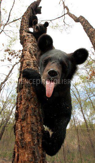 Asian black bear cubs