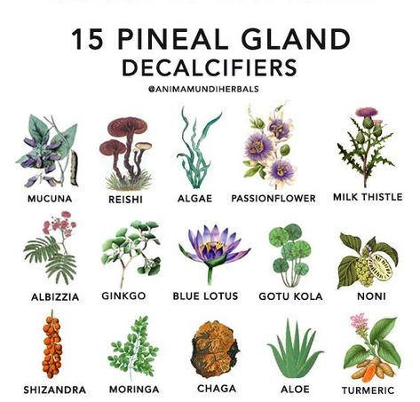 Decalcify your pineal gland with these herbs – Anima Mundi Herbals Pineal Gland Detox, Decalcify Pineal Gland, Pineal Gland Facts, Magic Herbs, Herbal Magic, Healing Herbs, Medicinal Plants, Holistic Healing, Natural Health Remedies