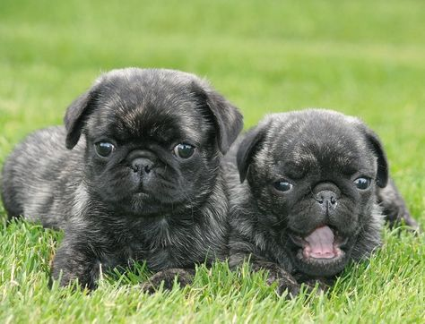 Cute Brindle Pug Puppies