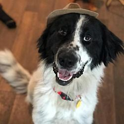 Dallas Texas Great Pyrenees Meet Sir Floof A Lot A For